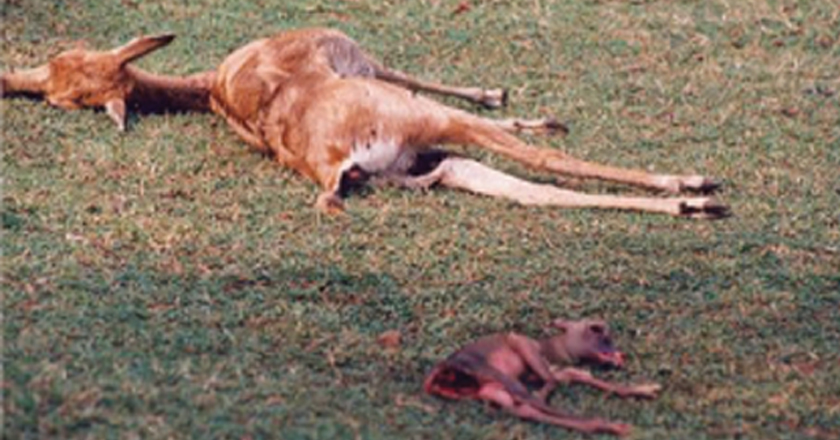 Stray dogs are a menace to wildlife in IITM